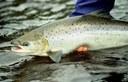 USFWS Fish of the Week: Atlantic salmon