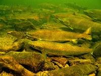 North Atlantic Salmon Conservation Organization (NASCO)