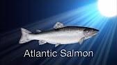 Species in the Spot Light: Atlantic Salmon (part II)
