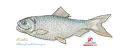 Alewife (small)