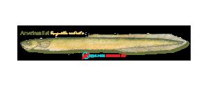 American Eel (small)