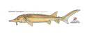 Atlantic Sturgeon (small)