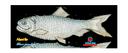 Flat Alewife (8.5x11)