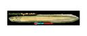Flat Eel (11x17)