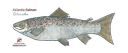 Flat Salmon (11x17)