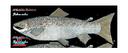 Flat Salmon (30x12)