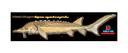 Flat Sturgeon (37x10)