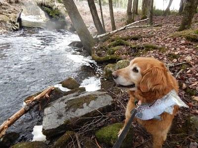 Bailey visiting Little Birch Stream, Sunkhaze NWR