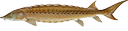 Shortnose Sturgeon (Acipenser brevirostrum)