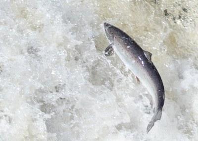 Atlantic Salmon Federation Seeks Environmental Sustainability in 2014