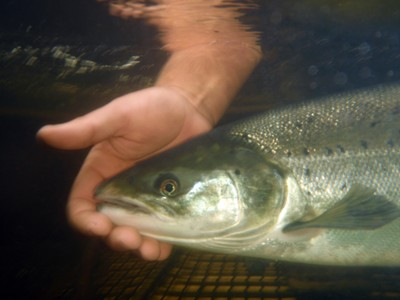Atlantic salmon adult