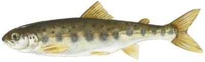 Atlantic salmon parr drawing