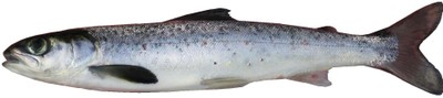 Atlantic salmon smolt