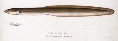 American eel illustration