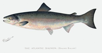 Atlantic salmon illustration
