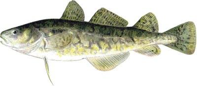 Illustration of an Atlantic tomcod (Microgadus tomcod).