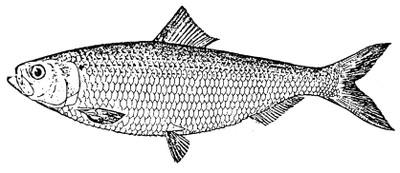 Blueback herring illustration.