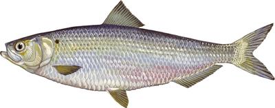 Blueback herring illustration