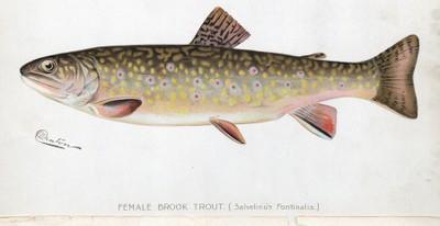 Brook trout female illustration