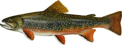 Brook trout illustration
