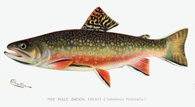 Brook trout male illustration