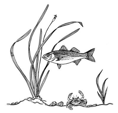 Striped bass illustration