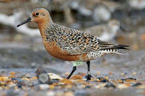 Sharing Science to Safeguard the Red Knot