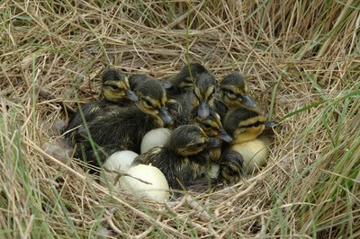New tool helps put potential black duck conservation projects in a row