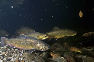 Research findings inform decision-support tools to help brook trout stay cool in the face of warming climate