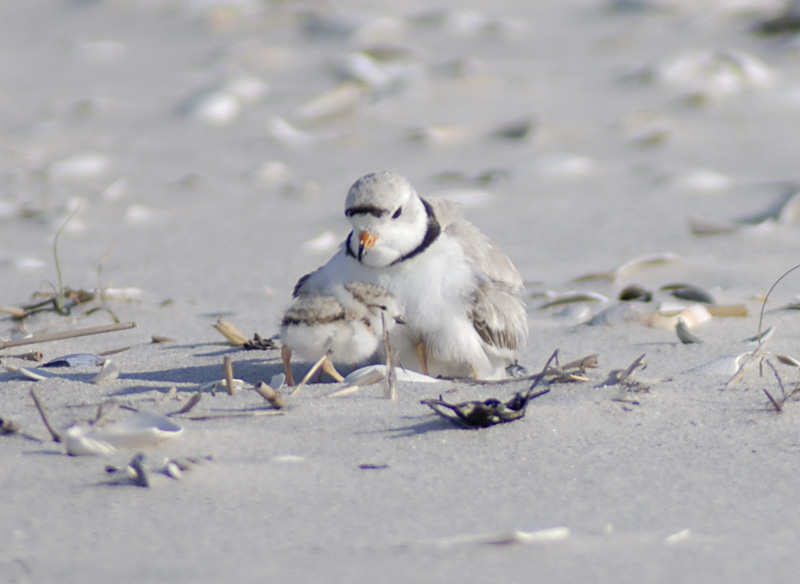USGS releases iPlover app for shorebird biologists