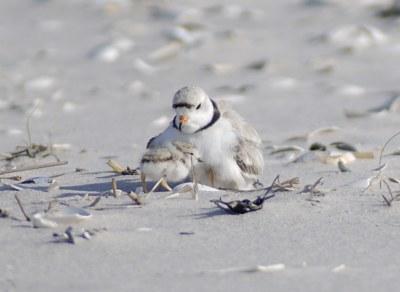 USGS releases iPlover app for shorebird biologists