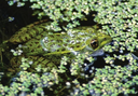 FWS News highlights Priority Amphibian and Reptile Conservation Areas project