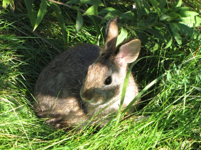 New England Cottontail spared from Endangered Species List thanks to science-based collaboration