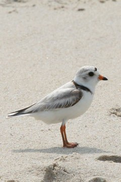 New predictive models helping to secure a future for piping plover