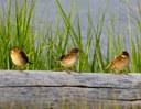 Study investigates interbreeding among threatened coastal birds