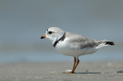 Piping Plovers and Sea-level Rise