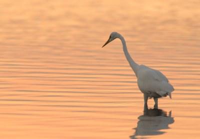 Conservation Design: Egret in Connecticut River
