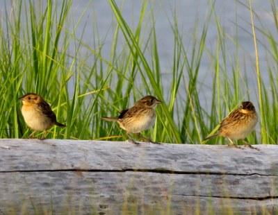Hurricane Sandy: Young saltmarsh sparrows