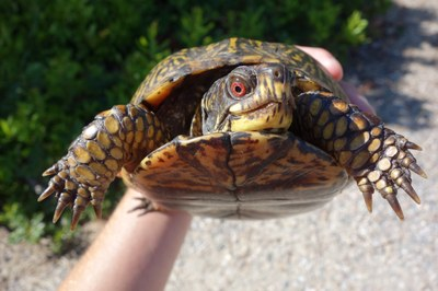 Partnerships: Box turtle