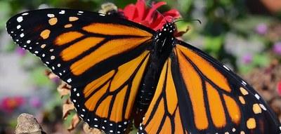 MonarchAdult.jpg