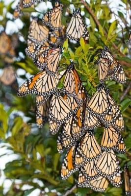 monarch cluster on st marks nwr by David Moynahan.jpg