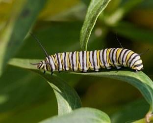 monarch-caterpillar.jpg