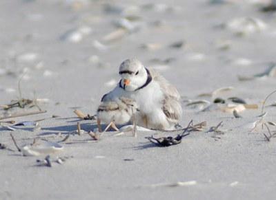 Potential Habitat for Beach-Nesting Birds in New Jersey